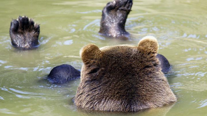 Воспитанный калужскими лётчиками медведь стал видеоблогером и заработал на бассейн