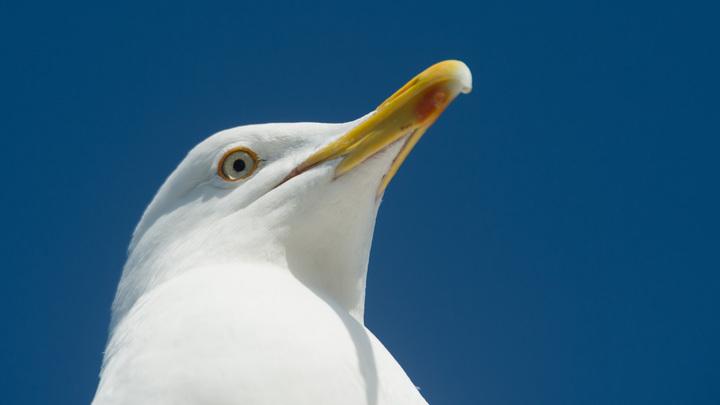 Наглая чайка сорвала прогноз погоды в Канаде - видео