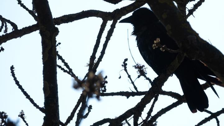 Птичий бунт: Орнитолог объяснил, как вести себя при агрессивном поведении вороны