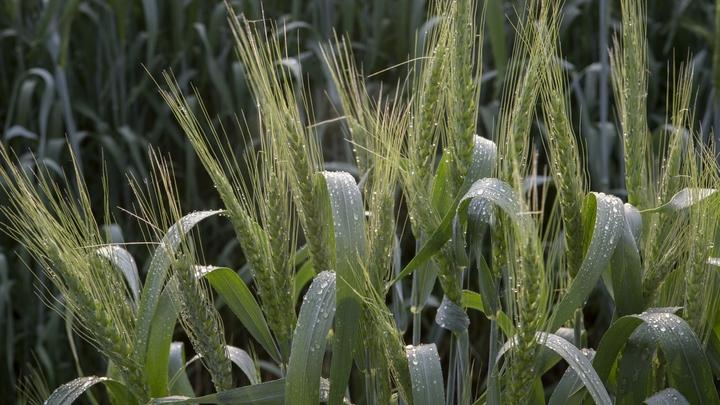 В Московской области выращивают новый сорт пшеницы с высоким содержанием белка