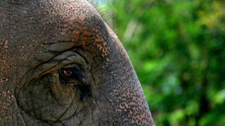 После 70 лет рабства: На Шри-Ланке от истощения умерла прославившаяся на весь мир слониха