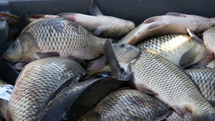 Четверть рыбы в магазинах Свердловской области некачественная - Роспотребнадзор
