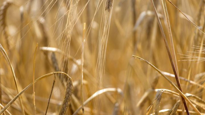 Хуже фашистов: Диверсанты ВСУ выжгли пшеничное поле в Донбассе