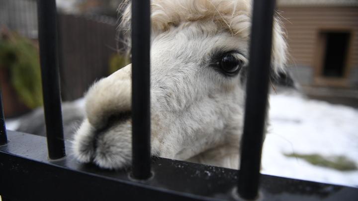 От коронавируса спасут ламы? Американские учёные нашли новое эффективное средство