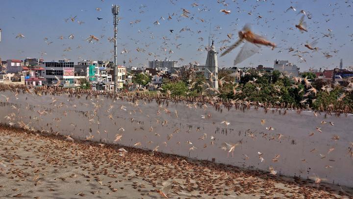 Нашествие библейского масштаба: Аргентину накрыла саранчовая чума