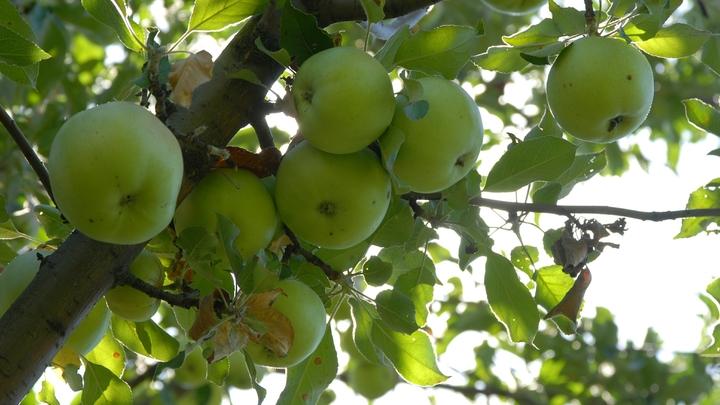 Яблоневый сад из 64 деревьев студенты Тимирязевки вырастят для убитых горем кемеровчан