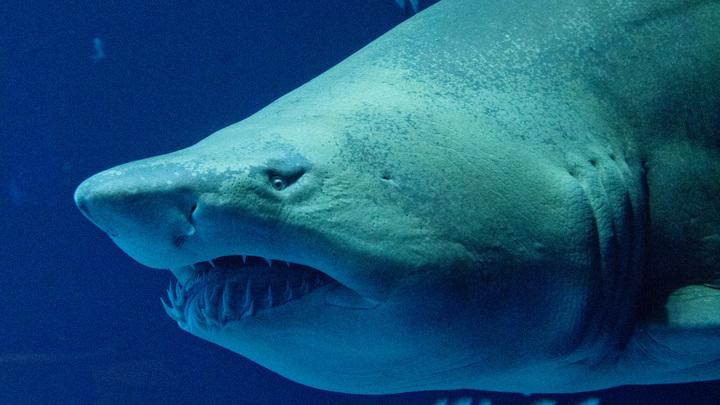Американские ученые нашли единственную в мире «акулу-вегетарианца»