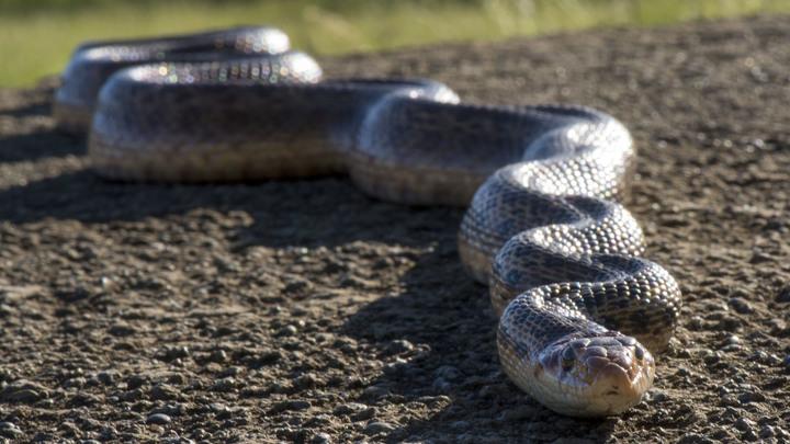 Живая змея пробралась в дом семейной пары погреться на новогодней звезде