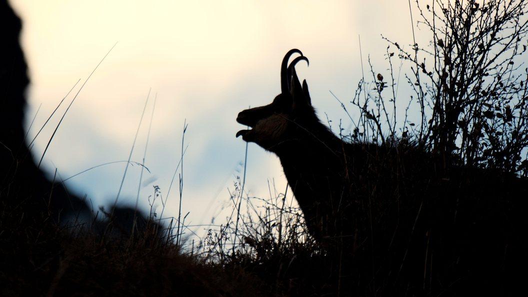Европе на зависть: Животноводы Марий Эл показали чудеса импортозамещения на примере коз