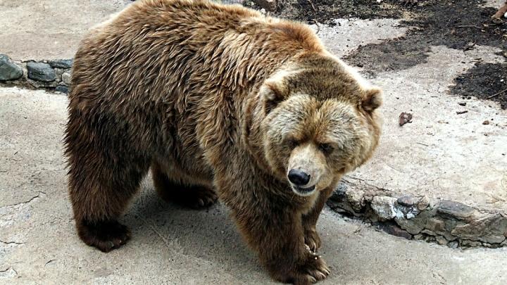 Медведь напал на женщину в Кузбассе