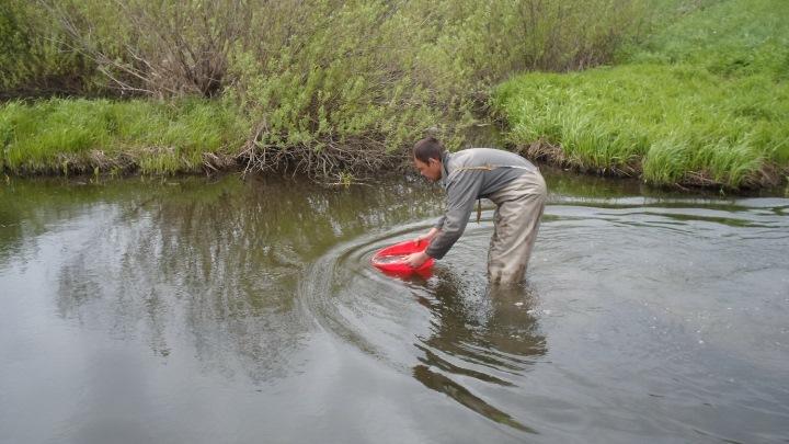 230 тысяч мальков хариуса выпустят в реки Кузбасса в 2021 году