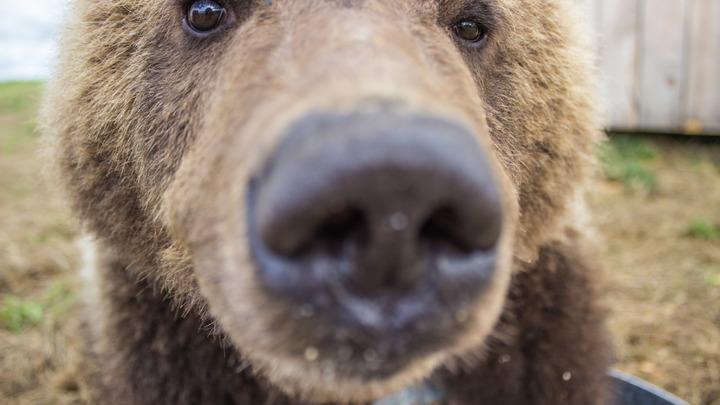 Медведица и медвежата вышли на пожар в Песчанке и помешали его тушению