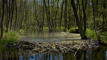 Новгородские леса спасут только массовые расстрелы бобров