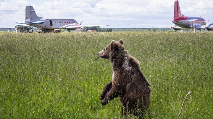 Американцы спасли дикого зверя от русских: Беги, пока не поздно!