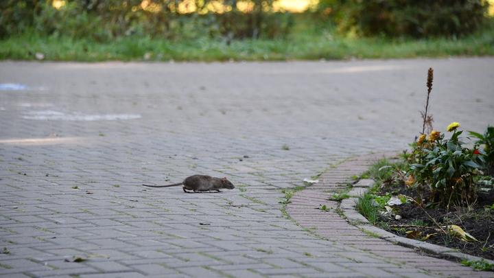 В вологодской школе крысы напали на школьников прямо на уроке. Завуч отмахивается: Царапины - СМИ