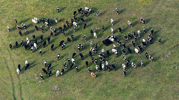 Напуганное собакой стадо коров атаковало детей в Башкирии