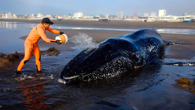 В Нью-Йорке на пляже обнаружили настоящего горбатого кита