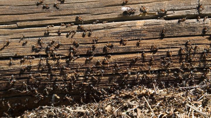 Променяли крылья на силу: Учёные раскрыли секрет выносливости муравьёв