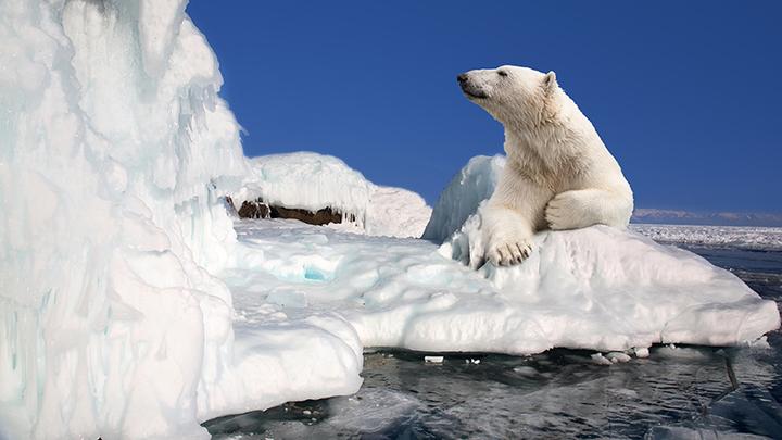 Белые медведи Роснефти: Как изучают животных в Арктике