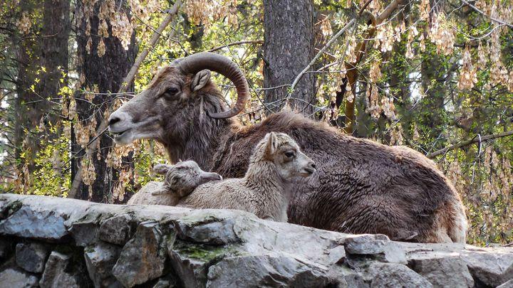 Новосибирский зоопарк показал волчат и ягнят аргали