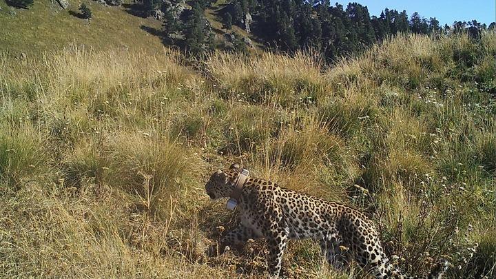 Пропавший в Кавказском заповеднике леопард попал в объективы камер