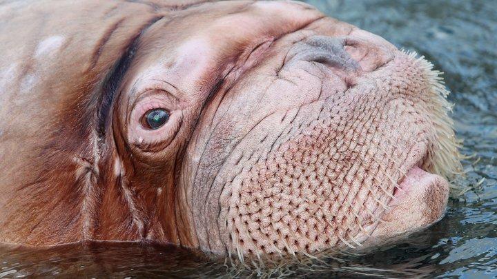 Тренер Приморского океанариума поплатился за неуважение к моржу Мише