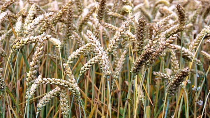 Минсельхоз заявил об уверенном увеличении экспорта пшеницы