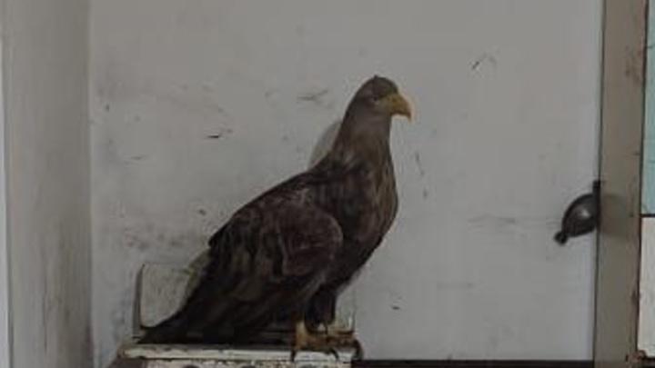 Дикий, когти огромные, а клюв как нож: В Ростовской области фермер спас раненого орлана-белохвоста