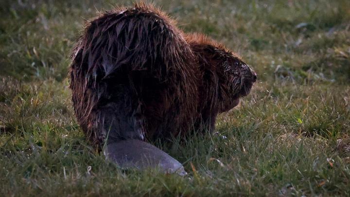 Петербург наводнили бобры: специалисты рассказали, как себя вести при встрече с животным