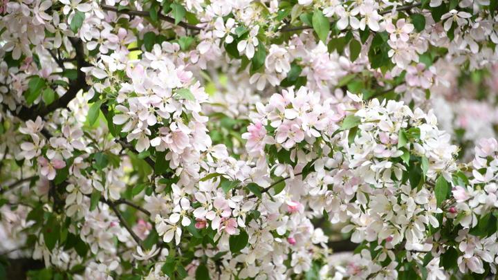 Неожиданная причина: В садах Новосибирской области массово погибли яблони