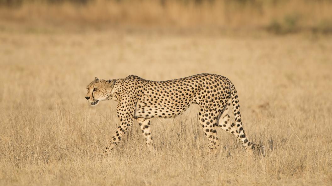 Группе французских туристов не удалось скормить себя гепардам несмотря на все старания