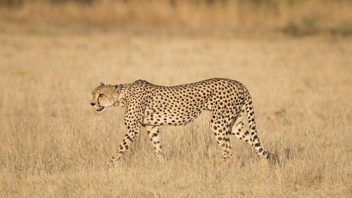 Группе французских туристов не удалось скормить себя гепардам, несмотря на все старания - видео