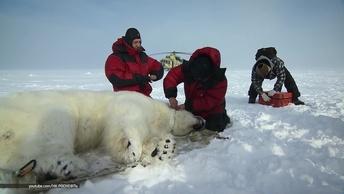 Участники масштабной экспедиции по изучению арктических животных рассказали о результатах работы