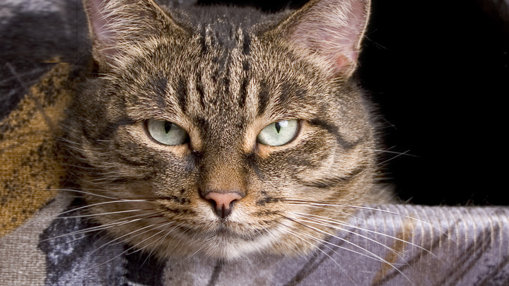 Улетавшая в Москву туристка бросила кота-беглеца в греческом аэропорту