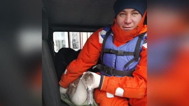 Вмерз в лед. На Увильдах спасли молодого лебедя