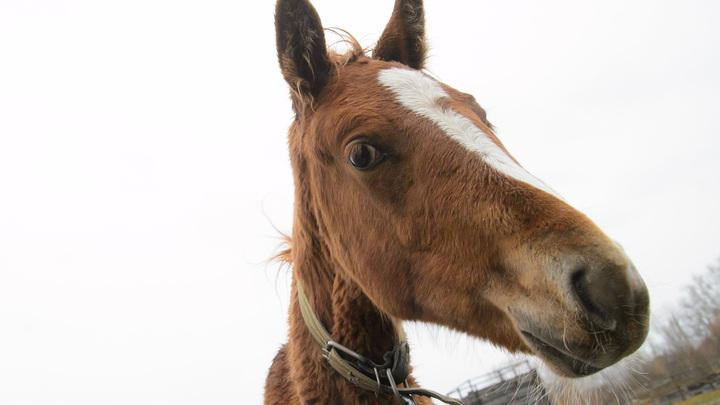 В Санкт-Петербурге по трассе в сторону проспекта Стачек проскакал конь без седока