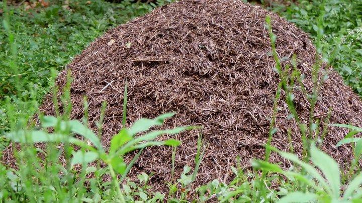 В Подмосковье обнаружили муравейник-гигант