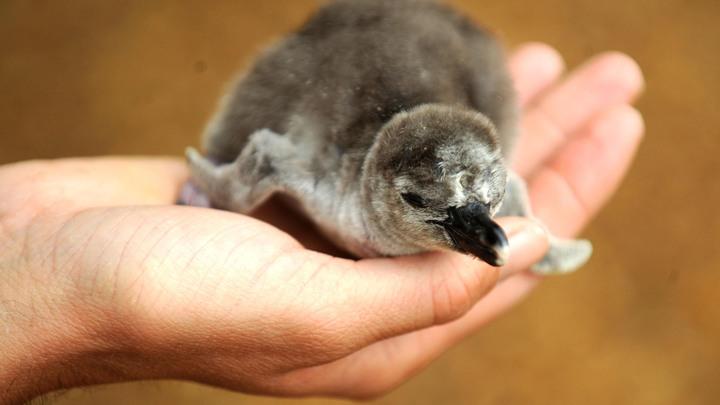 Глобальное потепление и голод убили 36 тысяч новорожденных птенцов пингвинов в Антарктике