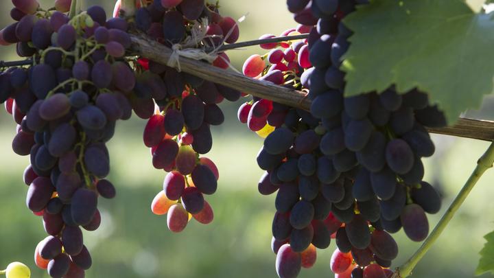 Из-за погоды сбор винограда в Молдове задержали на две недели