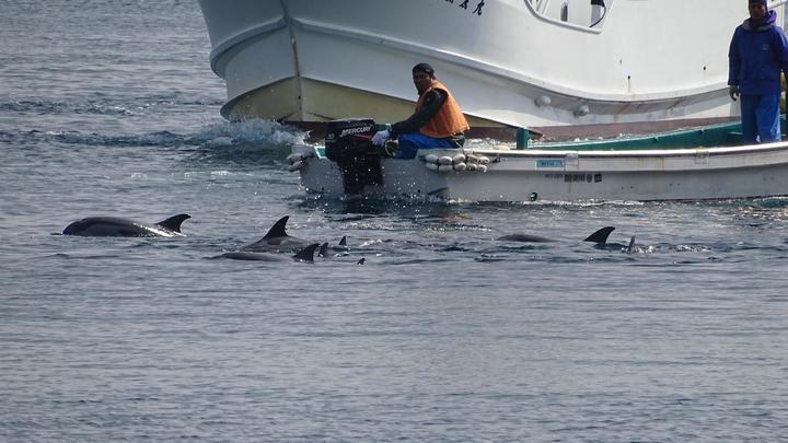 Покрасневшее море и предсмертные судороги: Власти Фареров не увидели беды в убийстве 1400 дельфинов