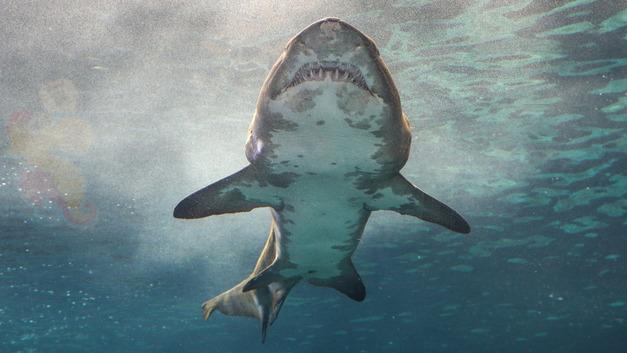 На пляже Австралии нашли зубы акулы-монстра