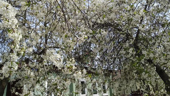 Во Владимире впервые за много лет к 9 мая не зацвела вишня
