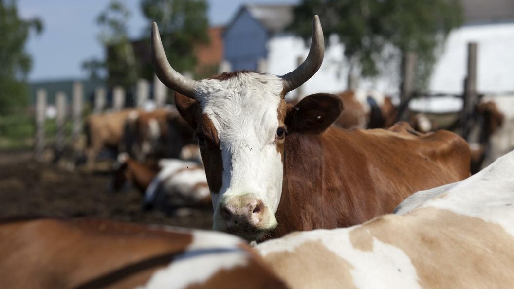 Коровы могут спасти человечество от ВИЧ, заявляют ученые