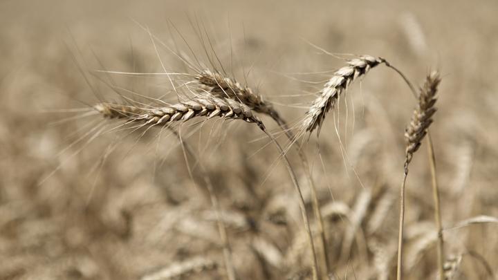 В России больше не ждут богатого урожая пшеницы. Эксперт озвучила обновлённый прогноз