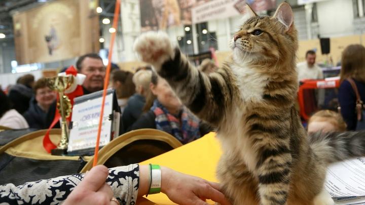 И по шесть пальцев на лапах: Эксперт рассказала, какие кошки теперь больше по душе жителям России