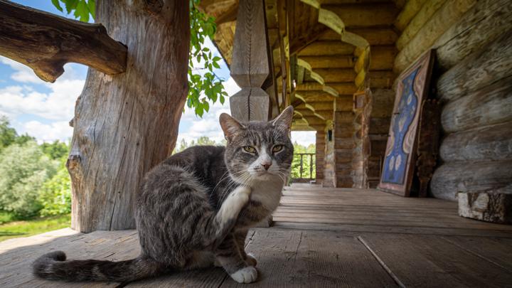 Стоит бояться кошек? Учёные рассказали, как коронавирус влияет на домашних животных