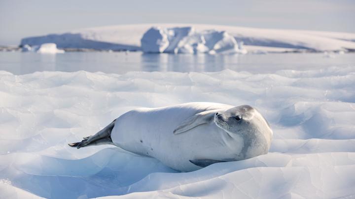 Поделись едой с другом: Биологи застали морских леопардов за совместной трапезой