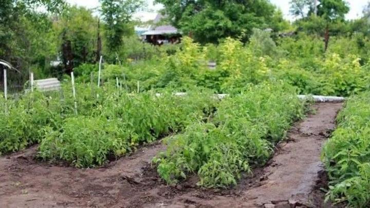 Белорусские милиционеры вычислили в Вилейке агронома-коноплевода