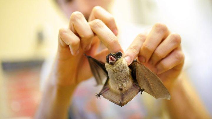 Не опаснее, чем другие: У живущих в России летучих мышей нашли коронавирус