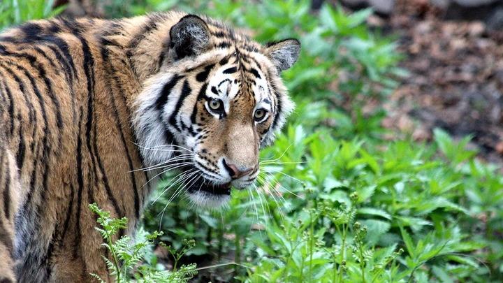 В Приморье двое мужчин задержаны за убийство амурского тигра